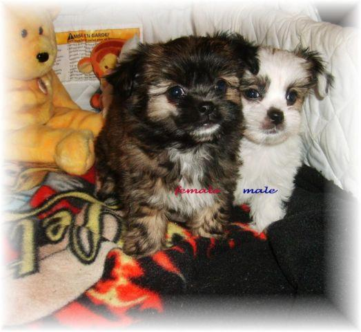 Shorkie.poo puppies~ for Sale in Island Lake, Wisconsin Classified ...