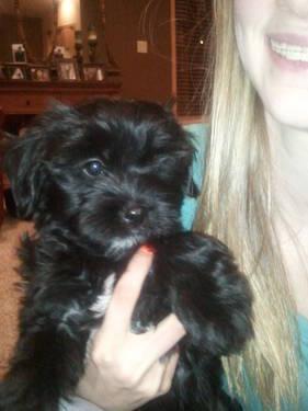 Shorkie Poo Shih Tzu Yorkie Poo Puppy For Sale In Clarksville