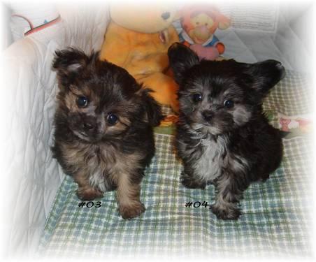 Yorkie Poo Puppies For Sale In Wisconsin Classifieds Buy