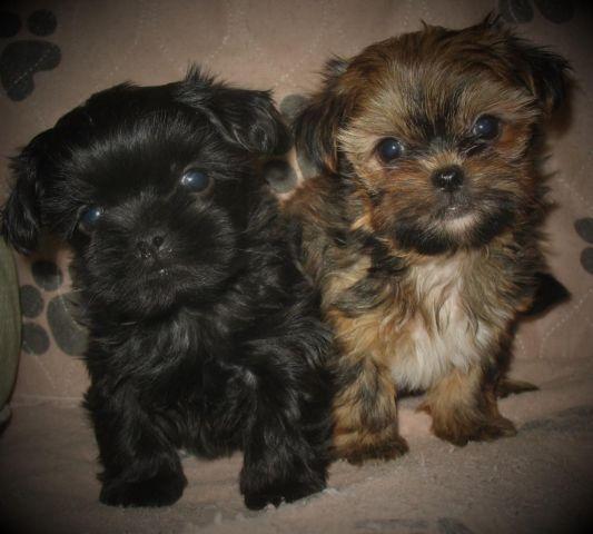 Shorkie Puppies Shih Tzu X Yorkie For Sale In Greensburg