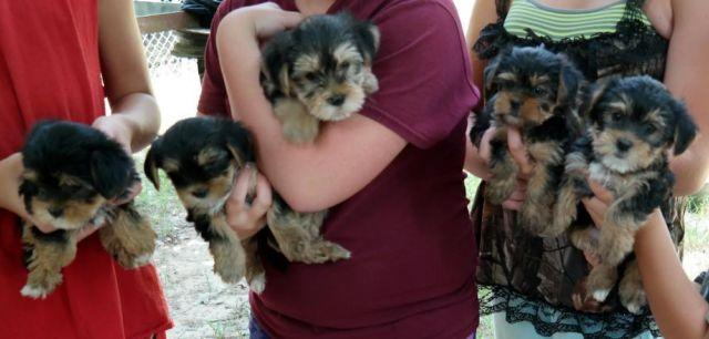 Shorkie Puppies Shih Tzu Yorkie Mix 8 Weeks Old No Papers For Sale