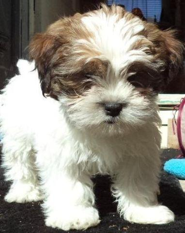 Shorkie Pups Yorkshire Terrier Shih Tzu White Parti Color 29175477 additionally 2017 Ford F250 Super Duty Xl 4x2 Xl 2dr Regular Cab 8 Ft Lb Pickup 282041873 moreover Study Shows That In British Columbia The Cheaper Suburbs Are Vanishing likewise Tallahassee Fl purzuit additionally A4157251. on sarasota florida real estate