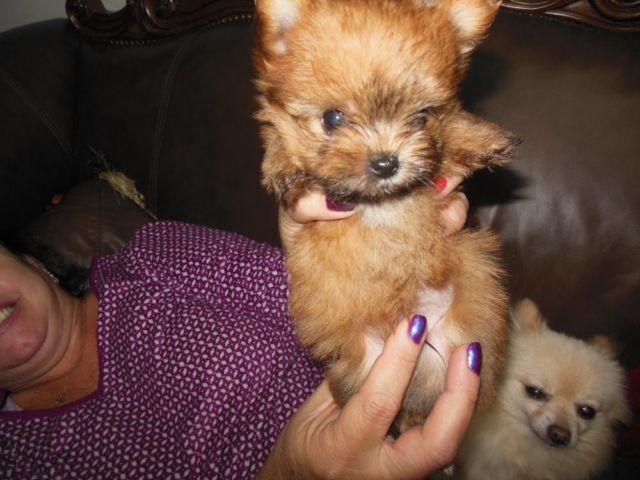 Shorkie Shih Tzu Yorkie Puppies For Sale In Lancaster