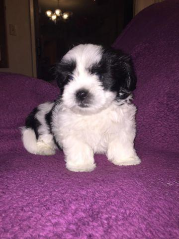 Shorkie Shih Tzuyorkie Puppies For Sale In Citrus Heights