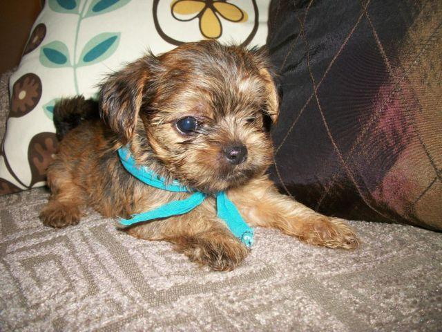 Yorkie Shih Tzu For Sale In Indiana Classifieds Buy And Sell In