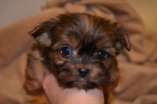 Shorkie Tzu Puppies For Sale In Bowman Mississippi Classified