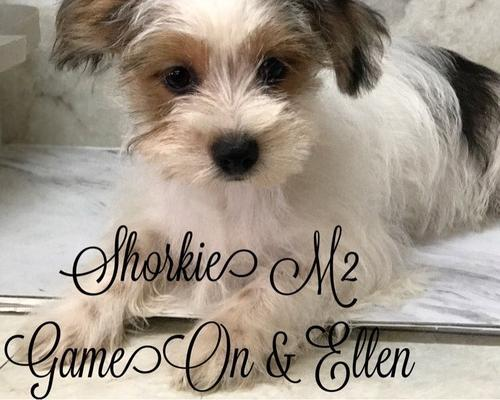 Shorkie Tzu Puppy for Sale - Adoption, Rescue for Sale in