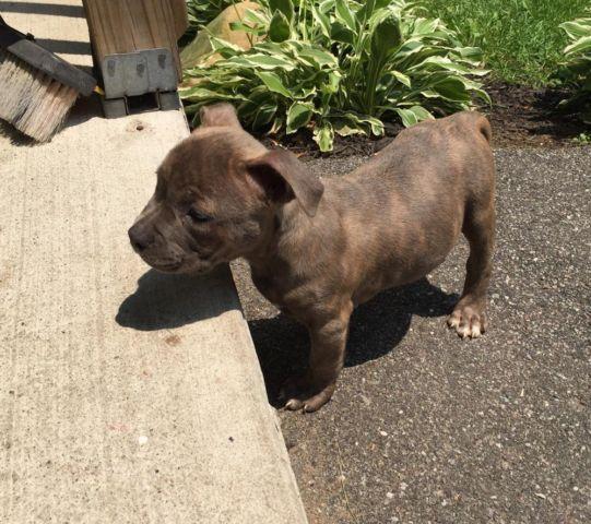 Short Bully Pitbull Pup Block Head 1 Left For Sale In