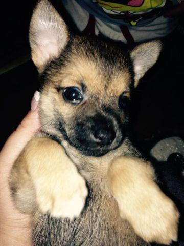 Teacup Chihuahua Puppies For Sale In Michigan Classifieds Buy And
