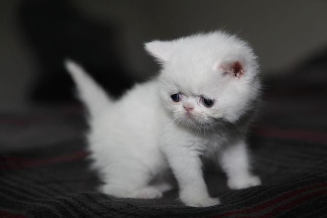 Shorthair Persians - Exotic Shorthair (Doll faces/FlatFaces)