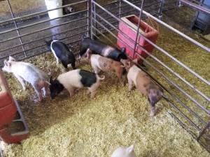 Show Pigs FFA 4-H - $150 (Greeley)