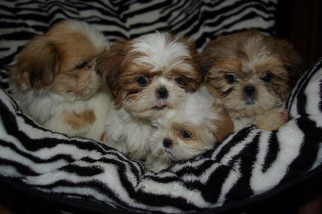 shih tzu breeders in virginia showing ckc shih tzu puppies today for sale in 997