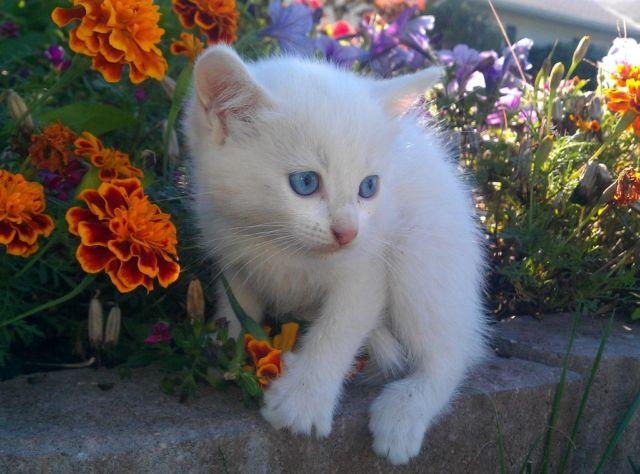 Siamese Angora Kittens Alpine White W Blue Eyes 1st Shots For