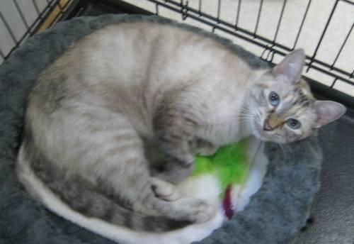 siamese pets and animals for sale in the usa puppy and kitten