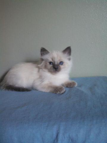 Siamese Balinese Female Kitten For Sale In Chagrin Falls