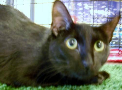 Siamese - Dudette - Large - Adult - Female - Cat for Sale in Lusby, Maryland Classified ...