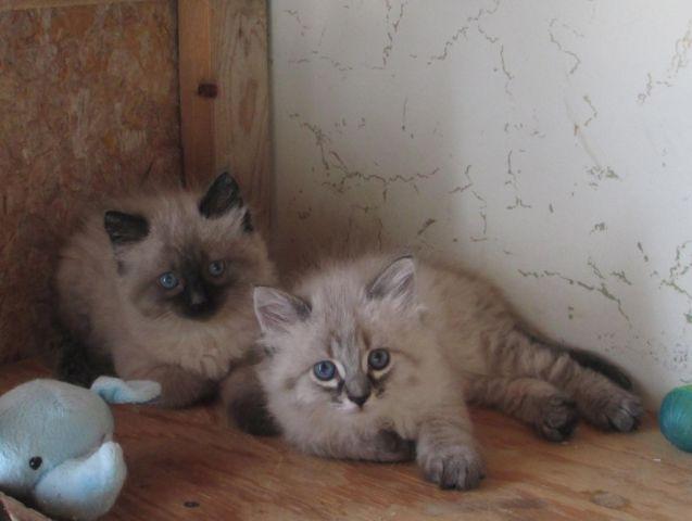 Siamese/Himalayan Kittens for Sale in Watkins, Minnesota Classified ...