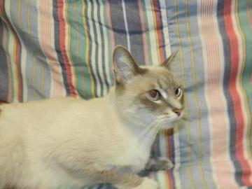 siamese   isis   medium   adult   female   cat for sale in