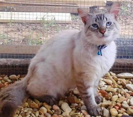 Siamese - Jupiter - Small - Adult - Male - Cat