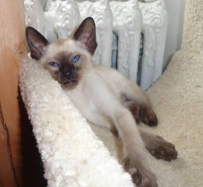 Lilac Point Siamese Kittens For Sale Siamese Kittens For Sale in
