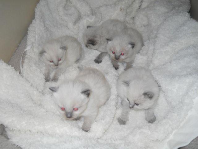 riversyde sequoia cattery lincoln ne kittens