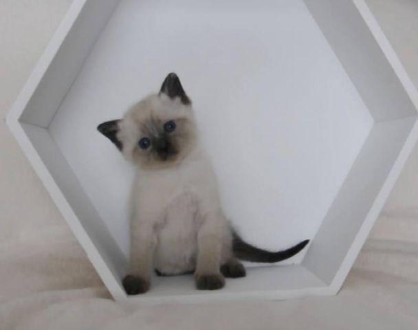 Siamese Kittens For Sale In Rochester New York Classified Americanlisted Com