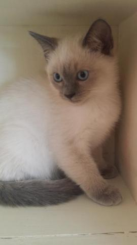 -----> SIAMESE KITTENS PUREBRED WITH PAPERS <-----