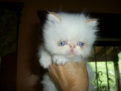 Snowshoe Cats For Sale In Ohio