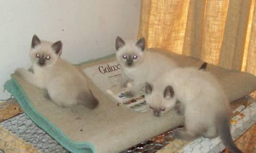 Siamese Kittens - TWO kittens available!!