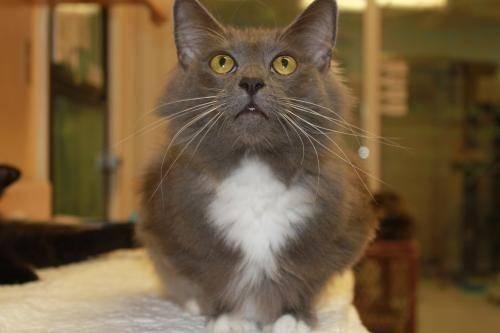 Siamese - Lacy - Medium - Adult - Female - Cat