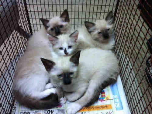 Siamese - Maverick - Medium - Young - Male - Cat