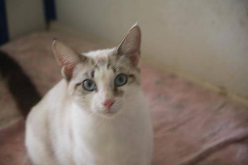 Siamese - Menlo - Medium - Young - Male - Cat
