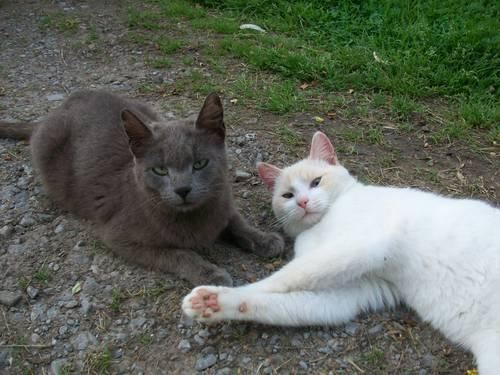 Siamese kittens for sale in oklahoma