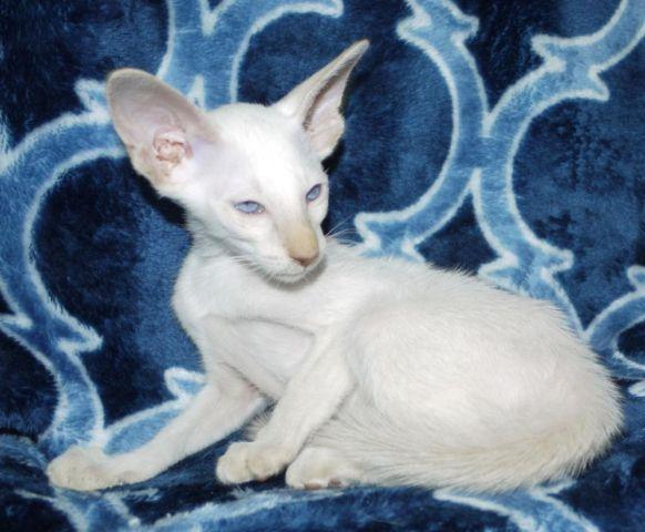 Siamese Kittens For Sale Seattle Free