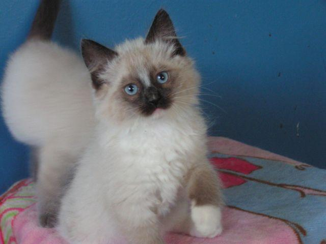 siamese x ragdoll kittens - photo #45