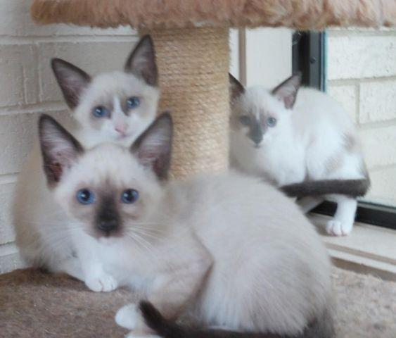Siamese Rescues Need Love, Too