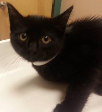 Siamese - Sapphire Kitten - Medium - Baby - Female -