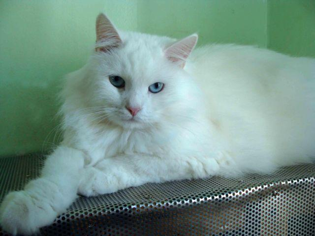 siberian cats for all lovers of white cats tica registered