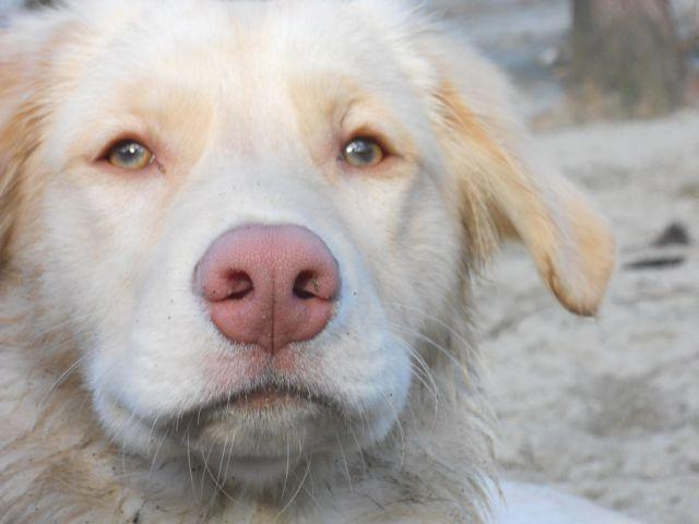 Siberian Husky & Australian Shepherd Puppies have Arrived! March 8th!