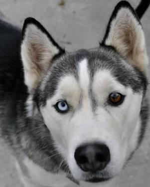 Siberian Husky - Desna - Medium - Young - Male - Dog for