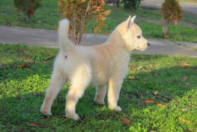 siberian husky mix belgian malinois puppies for sale in