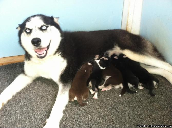 Siberian Husky Puppies Akc Ckc Blue Eyes For Sale In Burnsville