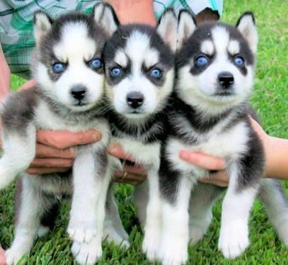 Siberian husky for sale in alabama classifieds buy and sell in siberian husky for sale in alabama classifieds buy and sell in alabama page 2 americanlisted voltagebd Image collections