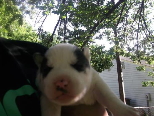 Siberian Husky Puppies For Sale In Greensboro North Carolina