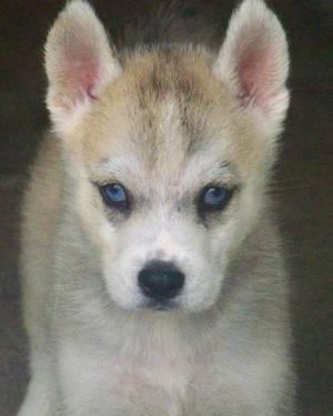 SIBERIAN HUSKY PUPPIES !!!!!!!!!!!!!!!!!!