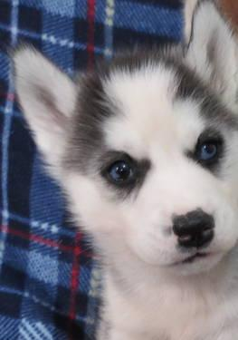 Siberian Husky Puppies For Sale In Lancaster Wisconsin Classified