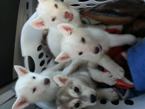 Siberian Husky Puppies For Sale In Victorville California