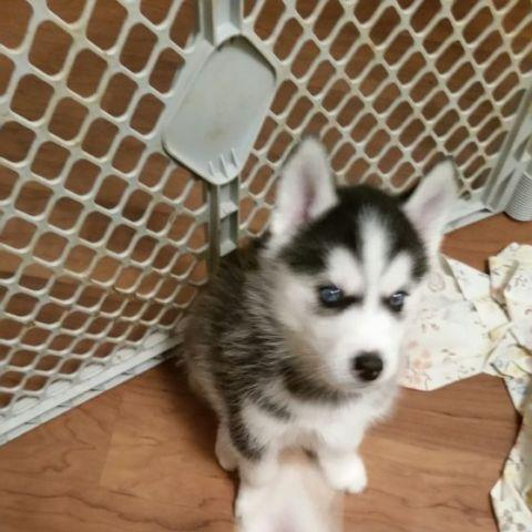Siberian Husky Puppies For Sale In Hayward Wisconsin Classified