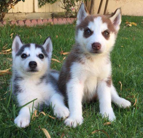 Funny Siberian Husky Puppies For Sale Near Me Craigslist ...