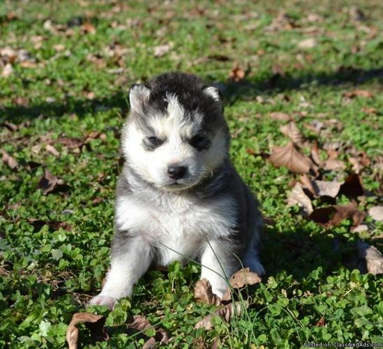 Siberian Husky Puppies Registered